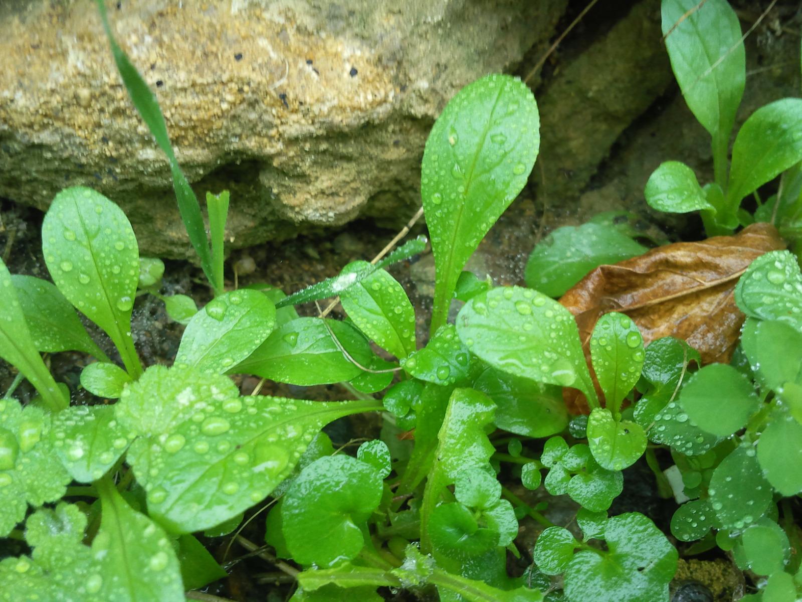 1 cueillette des herbes sauvages comestibles mois - Cuisine plantes sauvages comestibles ...
